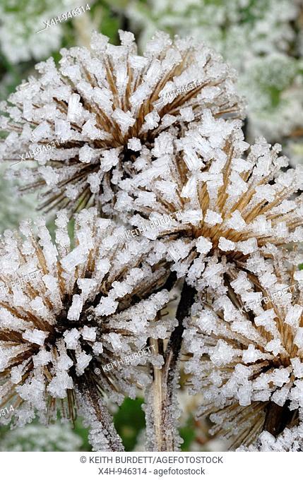 Burdock seedhead encrusted with ice crystals, Wales