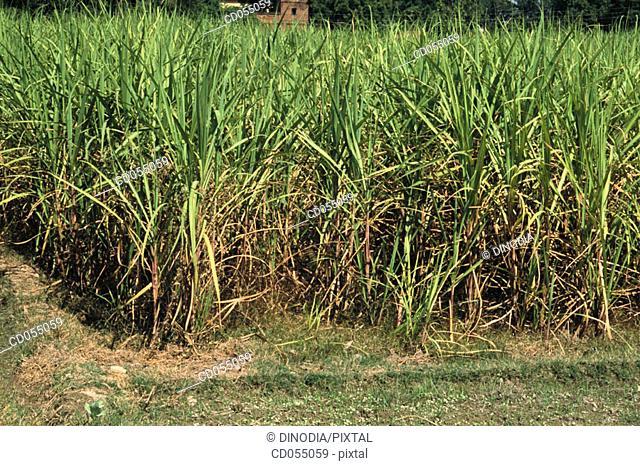 Sugar cane field. Uttar Praddesh. India