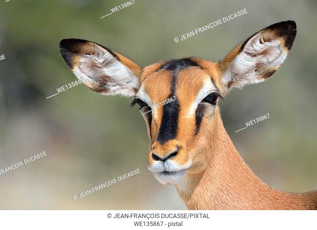 Black-faced impala (Aepyceros melampus petersi), adult female, Etosha National Park, Namibia, Africa