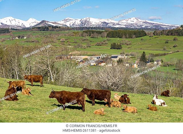France, Puy de Dome, Saint Pierre Colamine, Regional Natural Park of the Auvergne Volcanoes, cows in a meadow, Sancy in the background
