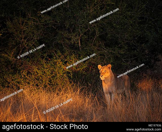 Beautiful early morning light shining on a lion (Panthera leo). South Africa