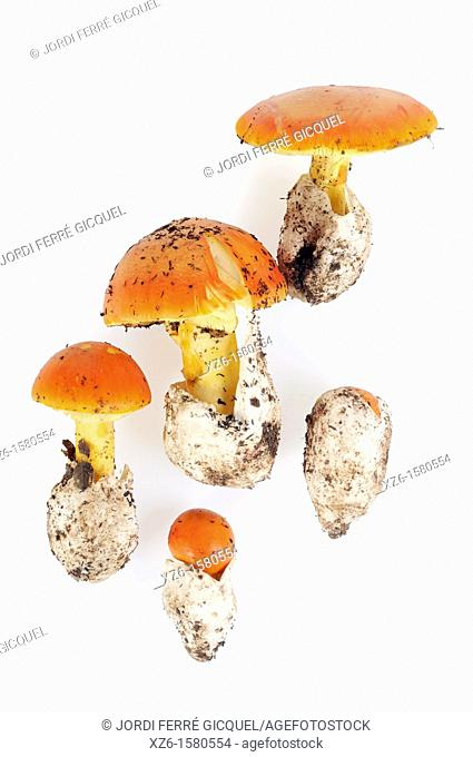 Different aspects of Caesar's Mushroom, oronja, reig, amanita caesarea, Edible mushroom, Costa Brava, Girona, Spain, Europe