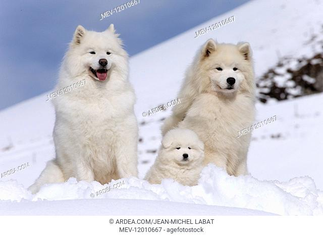 Samoyed dogs in winter snow