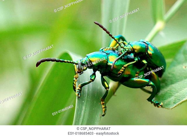 Green insects are mating