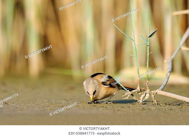 Juvenile Bearded Reedling (Panurus biarmicus) seeking for feed in August. Manych lake, Kalmykia, Russia