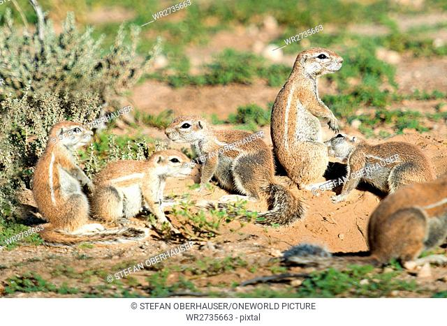 South Africa, North Cape, Mier, Kgalagadi Transfrontier Park, ground squirrel in nature