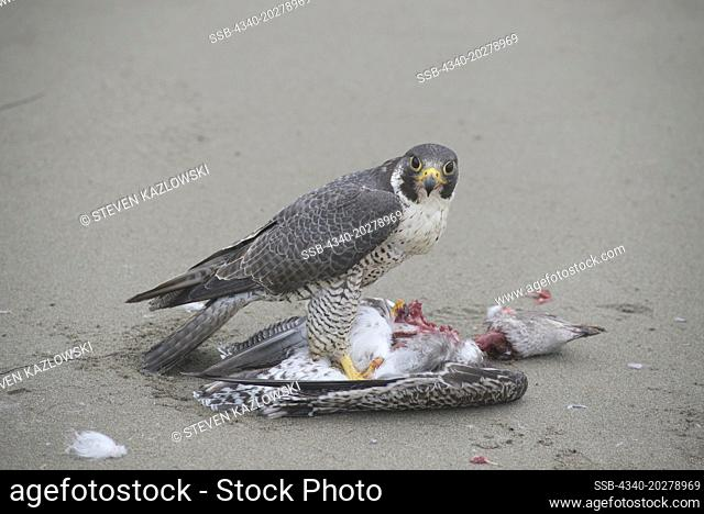 Peregrine Falcon (Falco Peregrinus), adult feeds on a seagull catch along Shi Shi Beach, Point of the Arches in summer, Olympic National Park, Washington