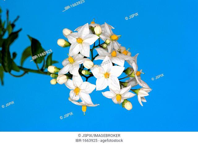 Jasmine Nightshade (Solanum jasminoides), blooming, Brazil, South America