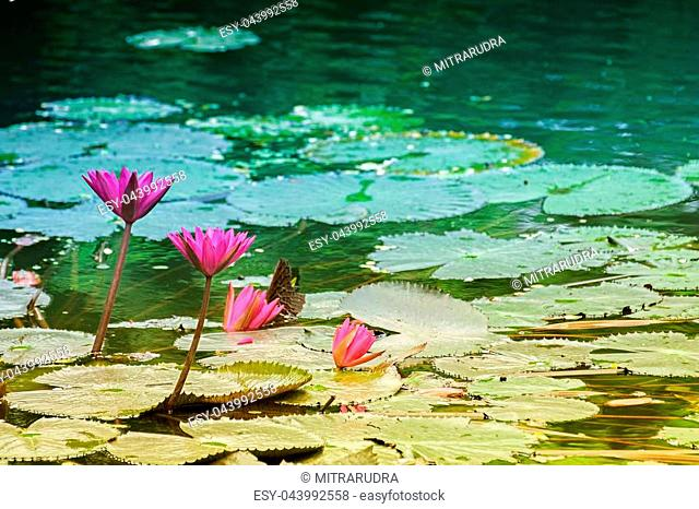 Nymphaea nouchali or Nymphaea stellata, common name red water lily, is a water lily of genus Nymphaea. It is native to southern and eastern parts of Asia