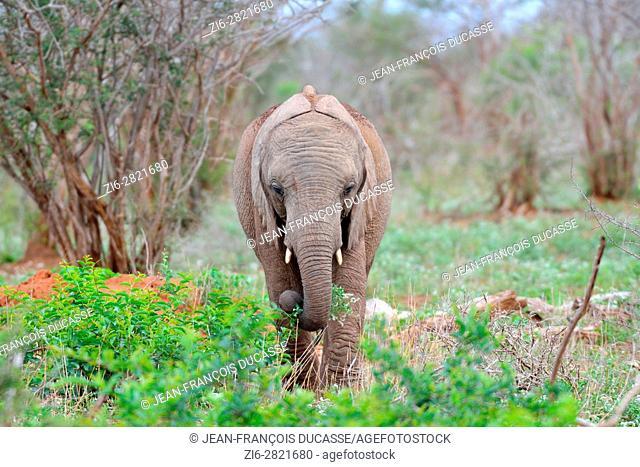 African bush elephant (Loxodonta africana), young, feeding, Kruger National Park, South Africa, Africa