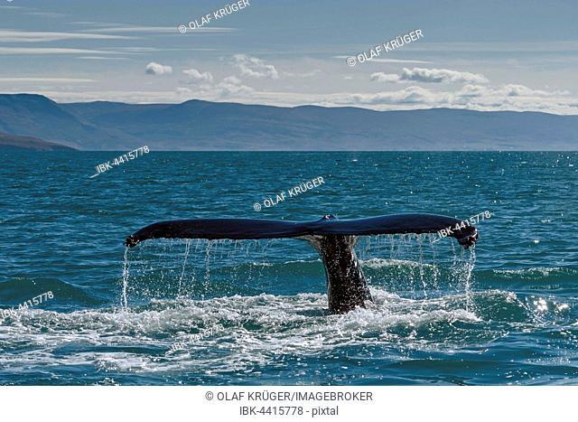 Tail, flukes, diving humpback whale (Megaptera novaeangliae), Eyjafjörður, Iceland