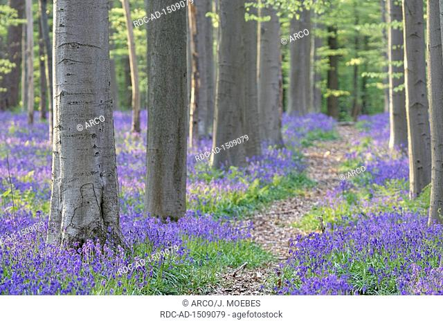 common bluebells, Endymion nonscriptus, in a common beech forest, Fagus silvatica, Hallerbos, Halle, Belgium, Europe