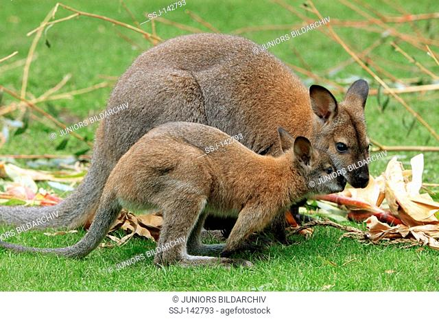 Bennett's Wallaby with cub / Macropus rufogriseus rufogriseus