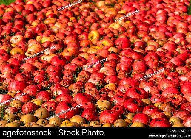 Hundreds of apples and pears laying on the ground after a bumper harvest