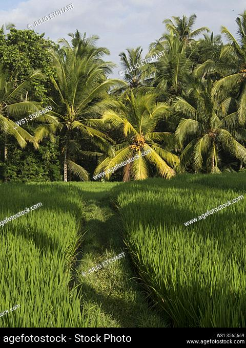 Rice paddy fields in Bali, Indonesia