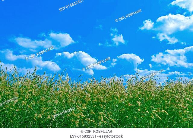 Grass Pollen and Cloudy Blue Sky