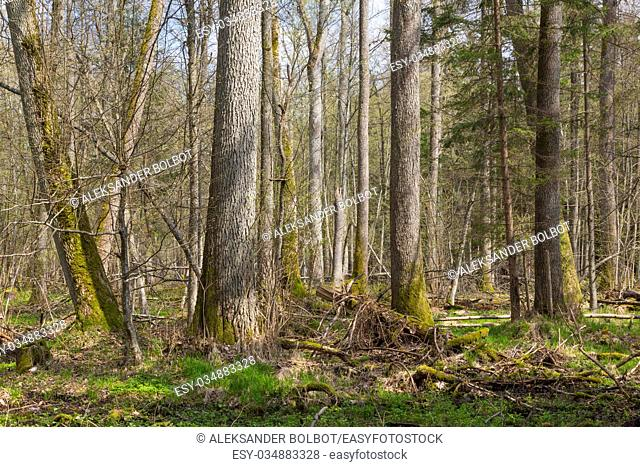 Fresh deciduous stand of Bialowieza Forest with old alder and ash trees in foreground, Bialowieza Forest,Poland,Europe
