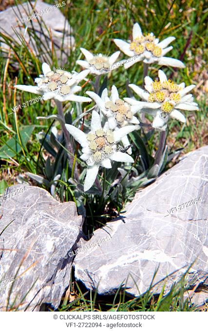 Edelweiss, (Leontopodium alpinum) the symbol of the Alps
