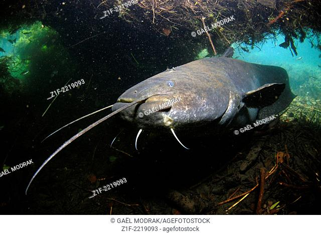 Face to face with a wels catfish in the Rhône river, south of France. Silurus glanis