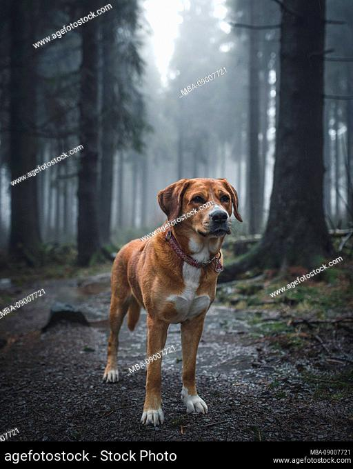 """Dog Labrador Swiss Mountain Dog Mongrel in the Red Moor, Rh""""n, Germany"""