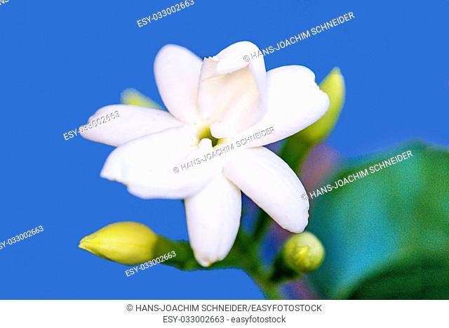 common jasmine, flower, closeup in Germany