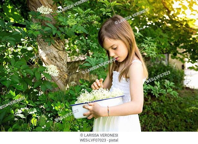 Little girl picking elderflowers