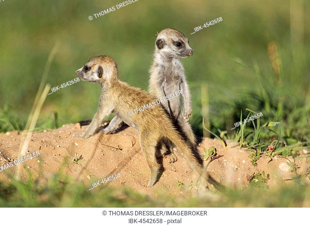Suricates (Suricata suricatta), two young animals at burrow, during the rainy season in green surroundings, Kalahari Desert, Kgalagadi Transfrontier Park