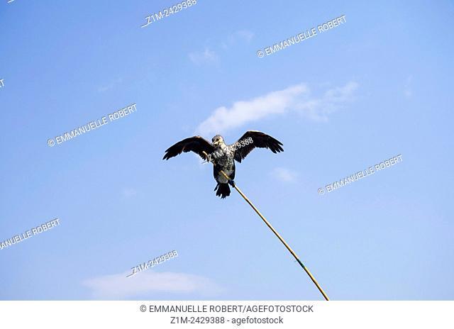 Asia, China, Yunnan, Dali, Erhai Lake, cormorant on rod