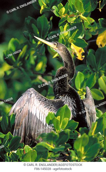Anhinga (Anhinga anhinga) on Red Mangrove. Florida. USA