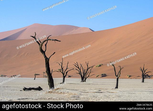 The dry landscape of Deadvlei, a clay pan characterized by dark, dead camel thorn trees contrasted against the white pan floor, located in Sossusvlei area
