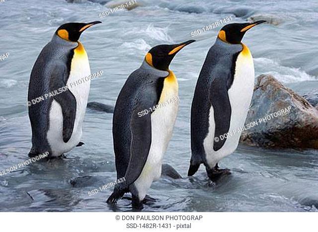 Three King penguins Aptenodytes patagonicus wading, South Georgia Island, South Sandwich Islands