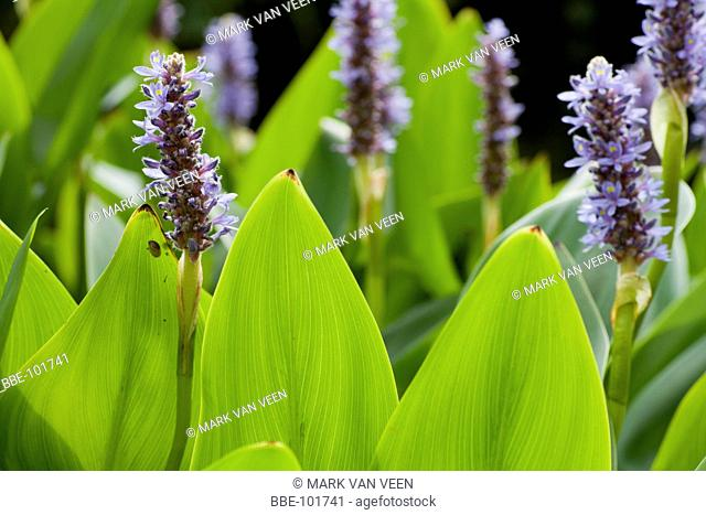 Pickerelweed is an exotic plant from North-America, that is establishing itself in Europe It is a popular garden plant