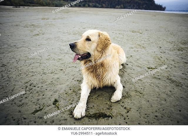 golden retriever dog at the beach