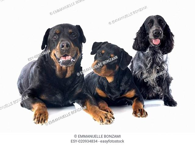 rottweilers and cocker spanier