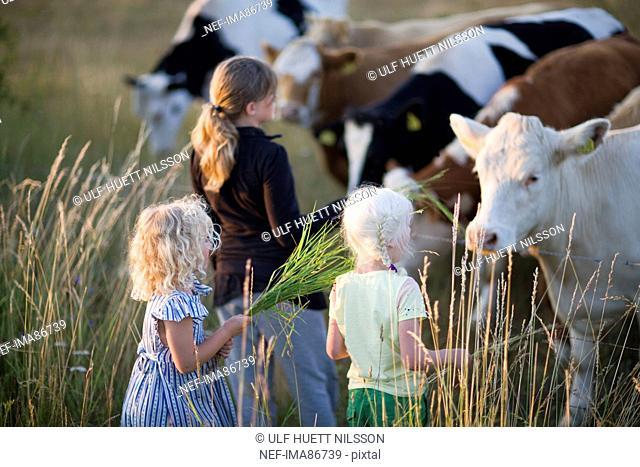 Three girls feeding cows