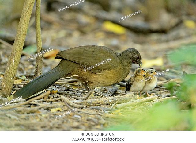 Plain chachalaca (Ortalis vetula) Mother feeding two chicks at a bird feeding station, Santa Ana NWR, Texas, USA