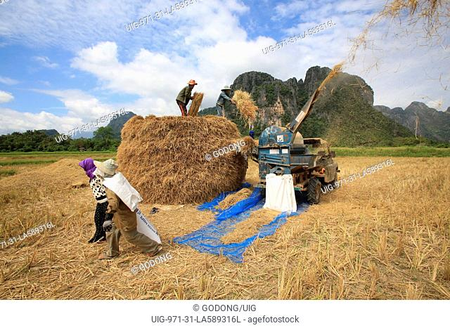 Rice field. Lao farmers harvesting rice in rural lanscape