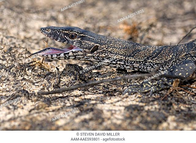 Heath Monitor (Varanus rosenbergi) Foraging in burnt heathland, Cape Le Grand National Park,Western Australia, January, Recently burned area due to bush fire