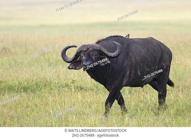 Buffalo with an Oxpecker on his back walking over the savanna and looking in to the camera, Masai mara, Kenya, Africa