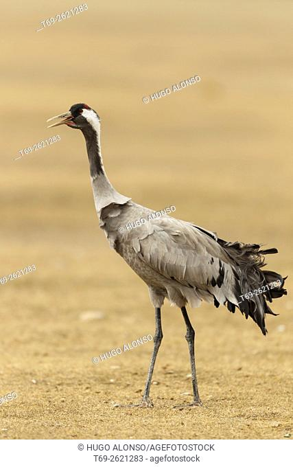cranes. Gallocanta. Spain