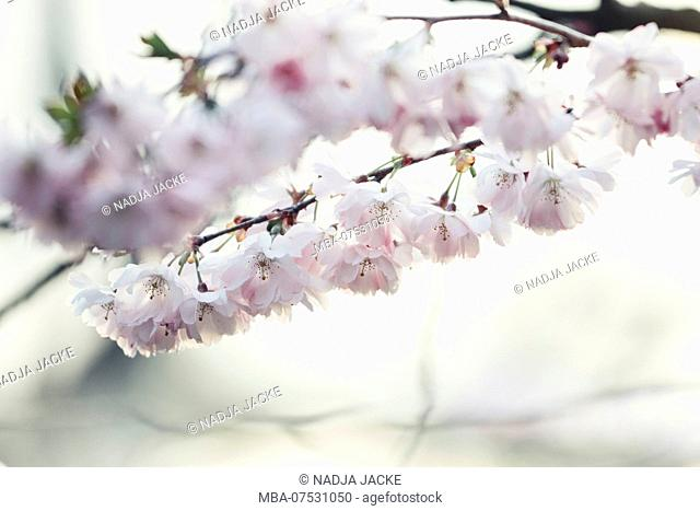 Delicate pink blossoms in spring