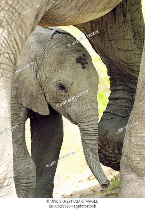 African Bush Elephants (Loxodonta africana), calf standing under its mother