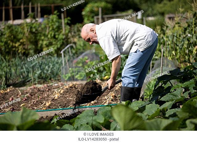 A senior man digging on an allotment