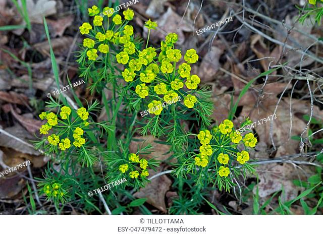 yellow flowers closeup of Euphorbia cyparissias