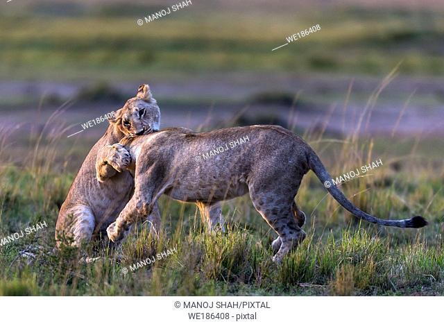 lionesses play fighting in Masai Mara National Reserve, Kenya
