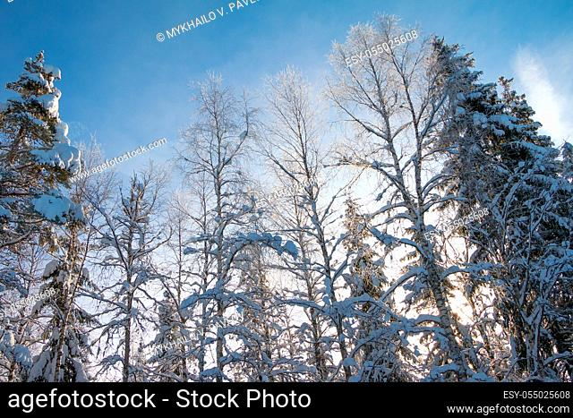 Winter forest. A lot of snow. Blue sky and treetops in the sunlight