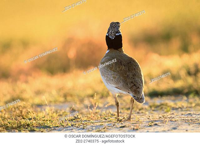 Little Bustard (Tetrax tetrax) male backlit by evening sunlight. Lleida province. Catalonia. Spain