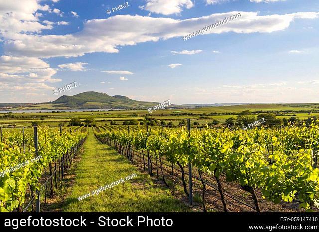 Spring vineyards under Palava near Sonberk, South Moravia, Czech Republic