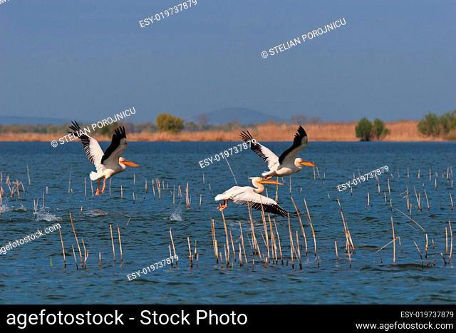 pelicans in flight in Danube Delta