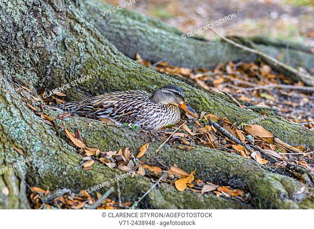 Mallard (Anas platyrhynchos) Female Sitting on Nest at Base of Live Oak (Quercus virginiana) near Corolla, NC USA
